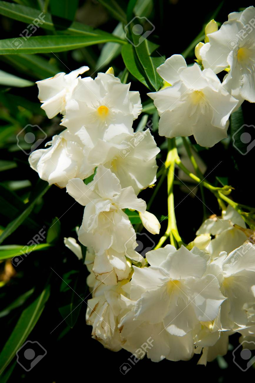 White Oleander Flowers In Full Bloom Stock Photo Picture And