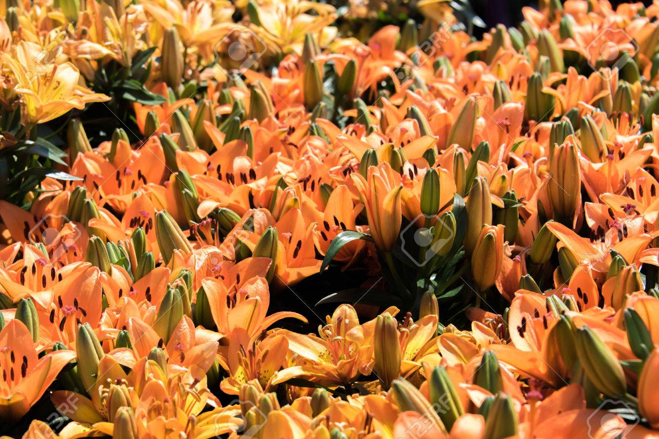 Orange And Yellow Asiatic Lilies Spring Flowers Stock Photo Picture