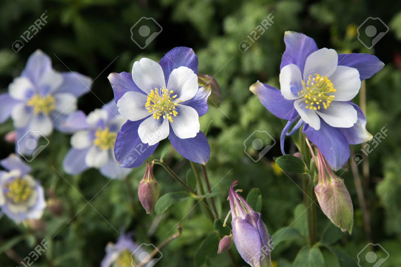 A Field With Rocky Mountain Blue Columbine Flowers Stock Photo