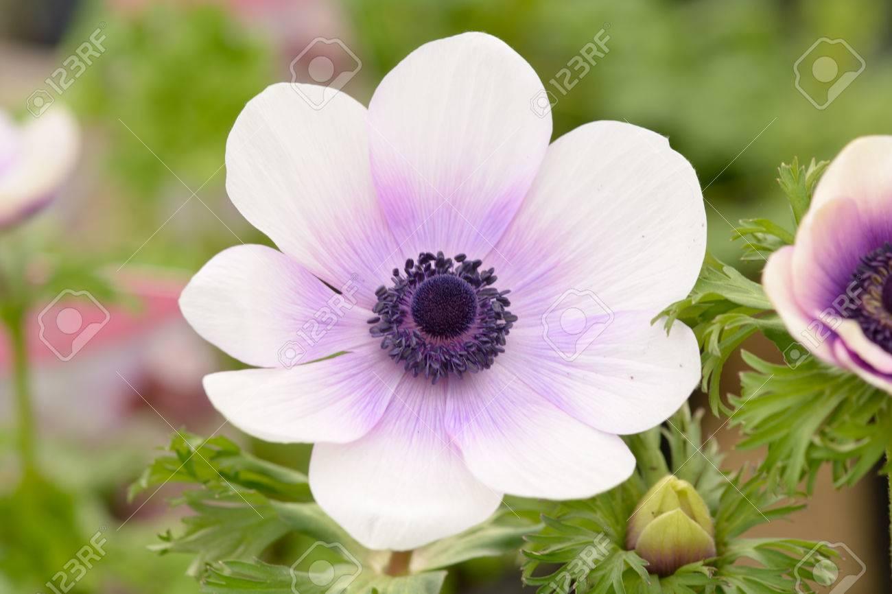 White and violet anemone flower stock photo picture and royalty stock photo white and violet anemone flower mightylinksfo