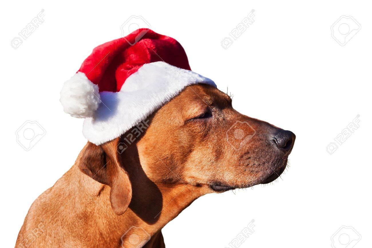 Weihnachtshund Für Geschenke Warten. Trauriger Hund In ...