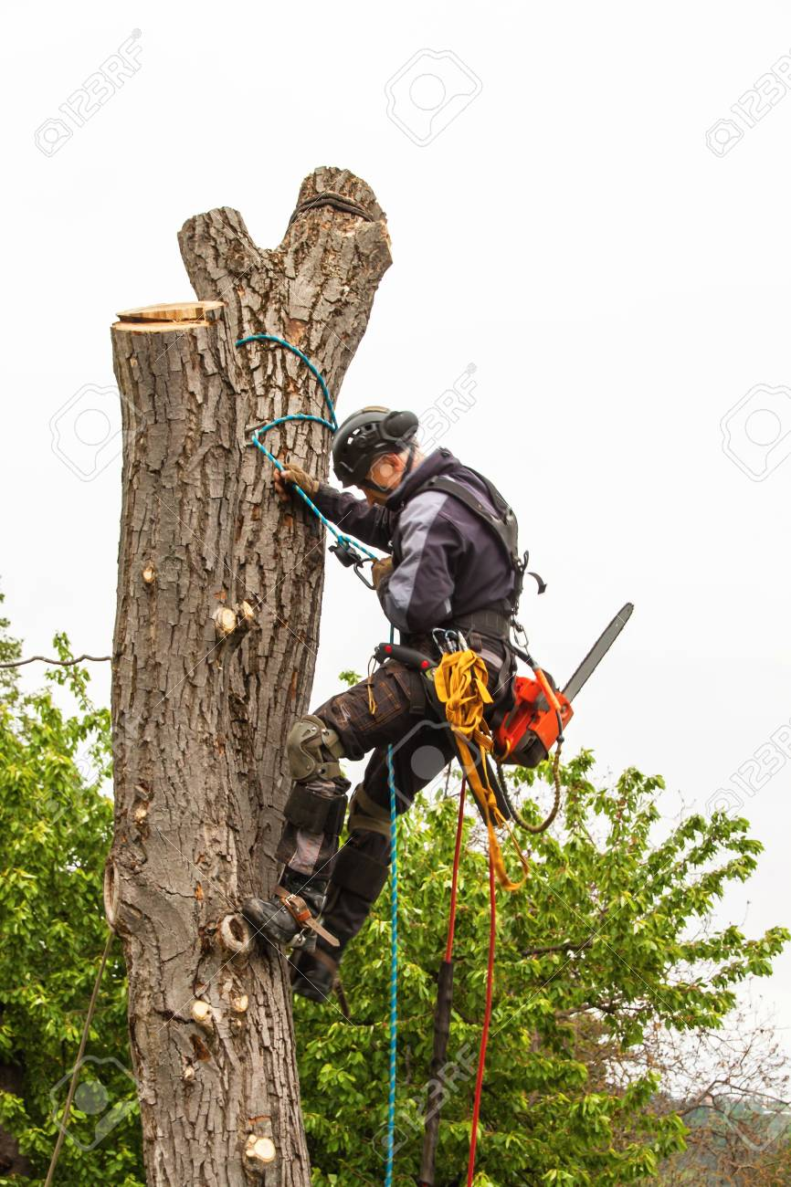 Lumberjack with saw and harness pruning a tree  Arborist work