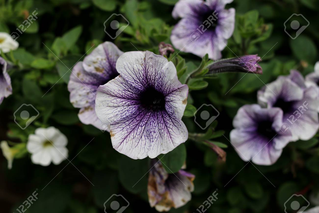 The Dark Purple Centre Of A Light Purple Flower Stock Photo Picture