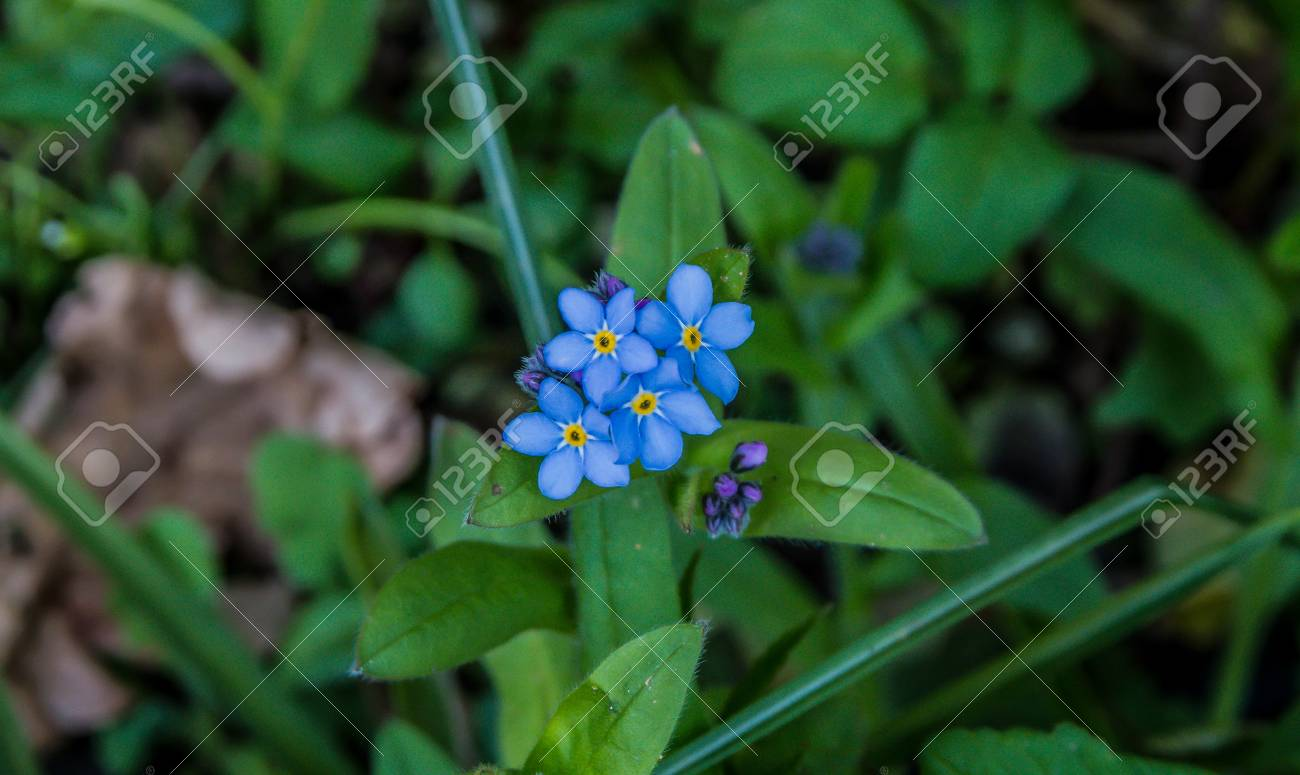 A Group Of Small Light Blue Flowers With A Yellow Centre Stock Photo