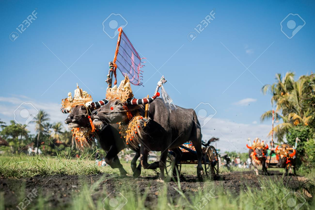 Traditional Bull Racing in Indonesia 40