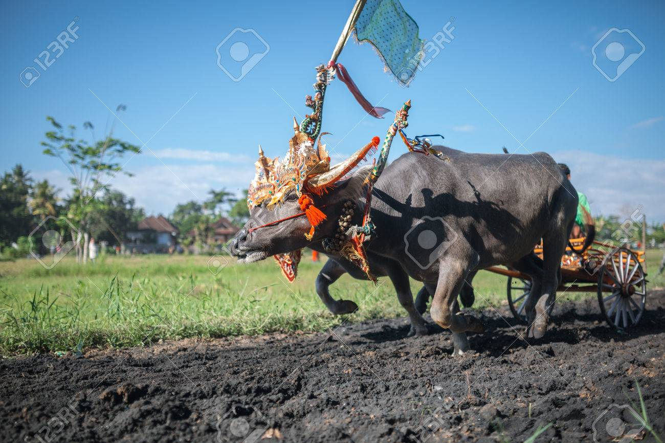 Traditional Bull Racing in Indonesia 11