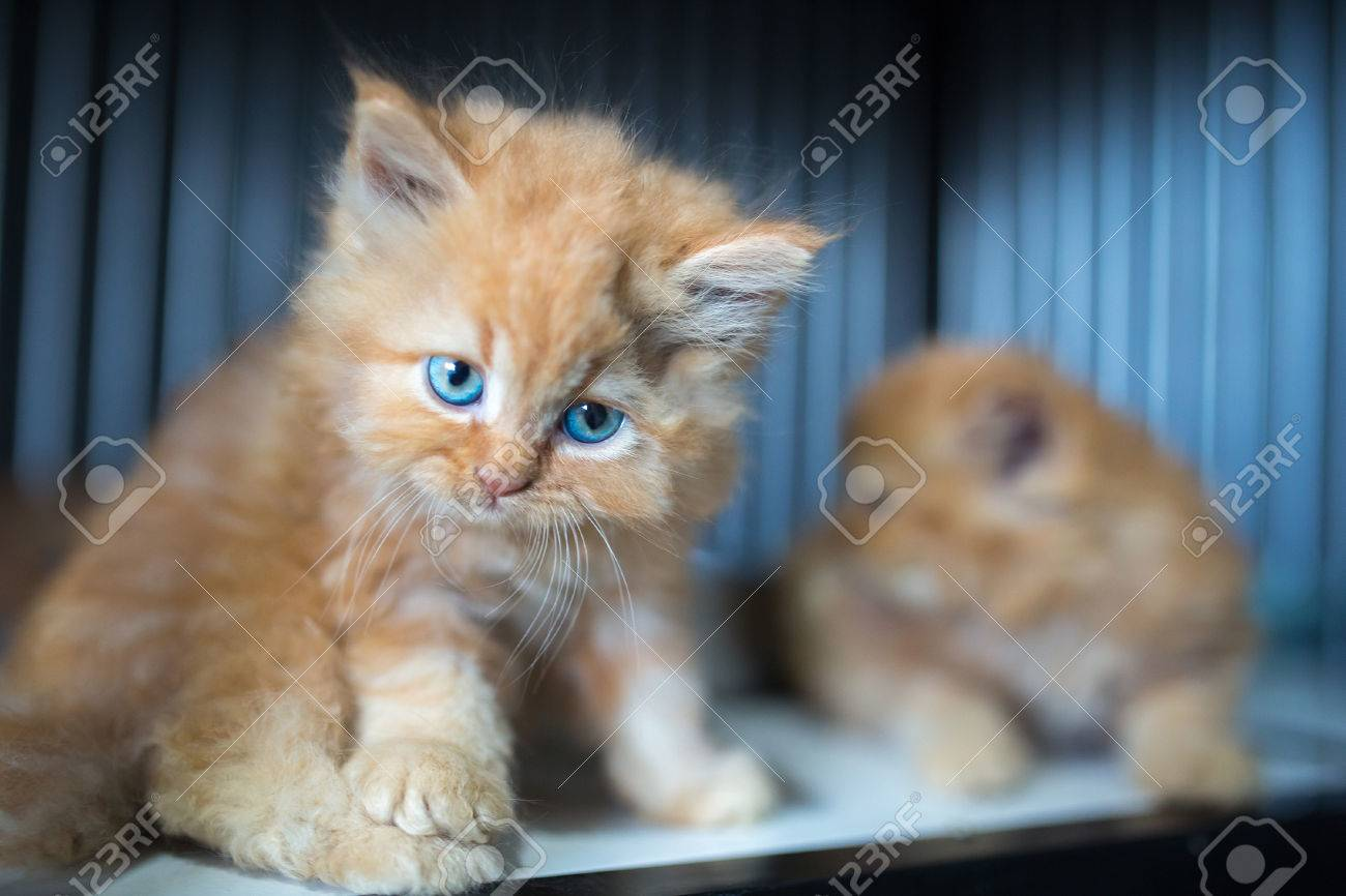 Beautiful Cute Ginger Angora Baby Cat Stock Photo Picture And