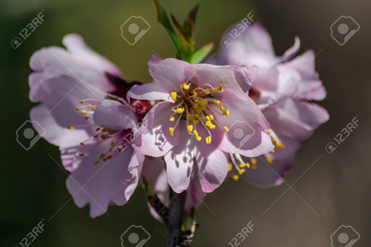 Almond Flowers Prunus Dulcis With Sunlight Stock Photo Picture