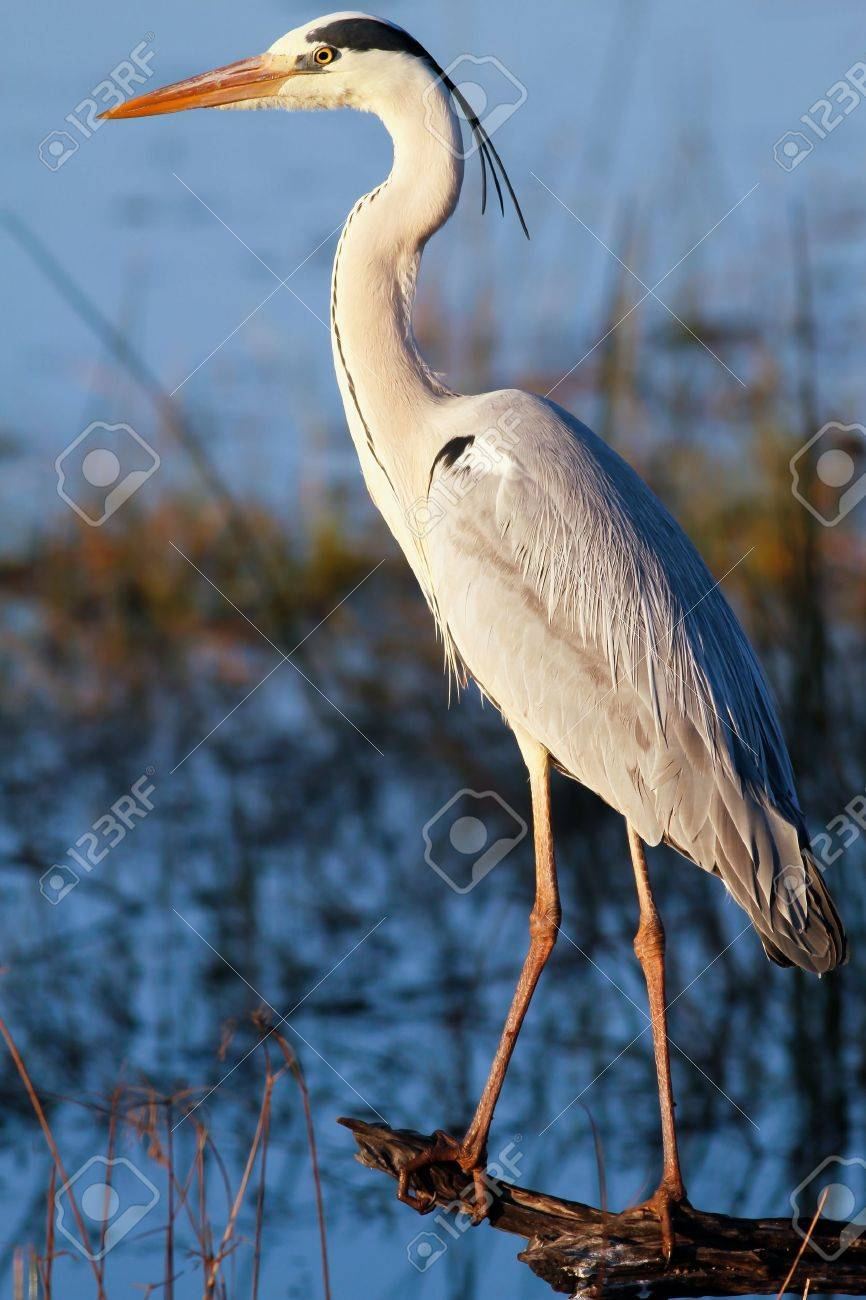 Great blue heron (Ardea herodias) standing in a log overlooking a lake Stock Photo - 10540355