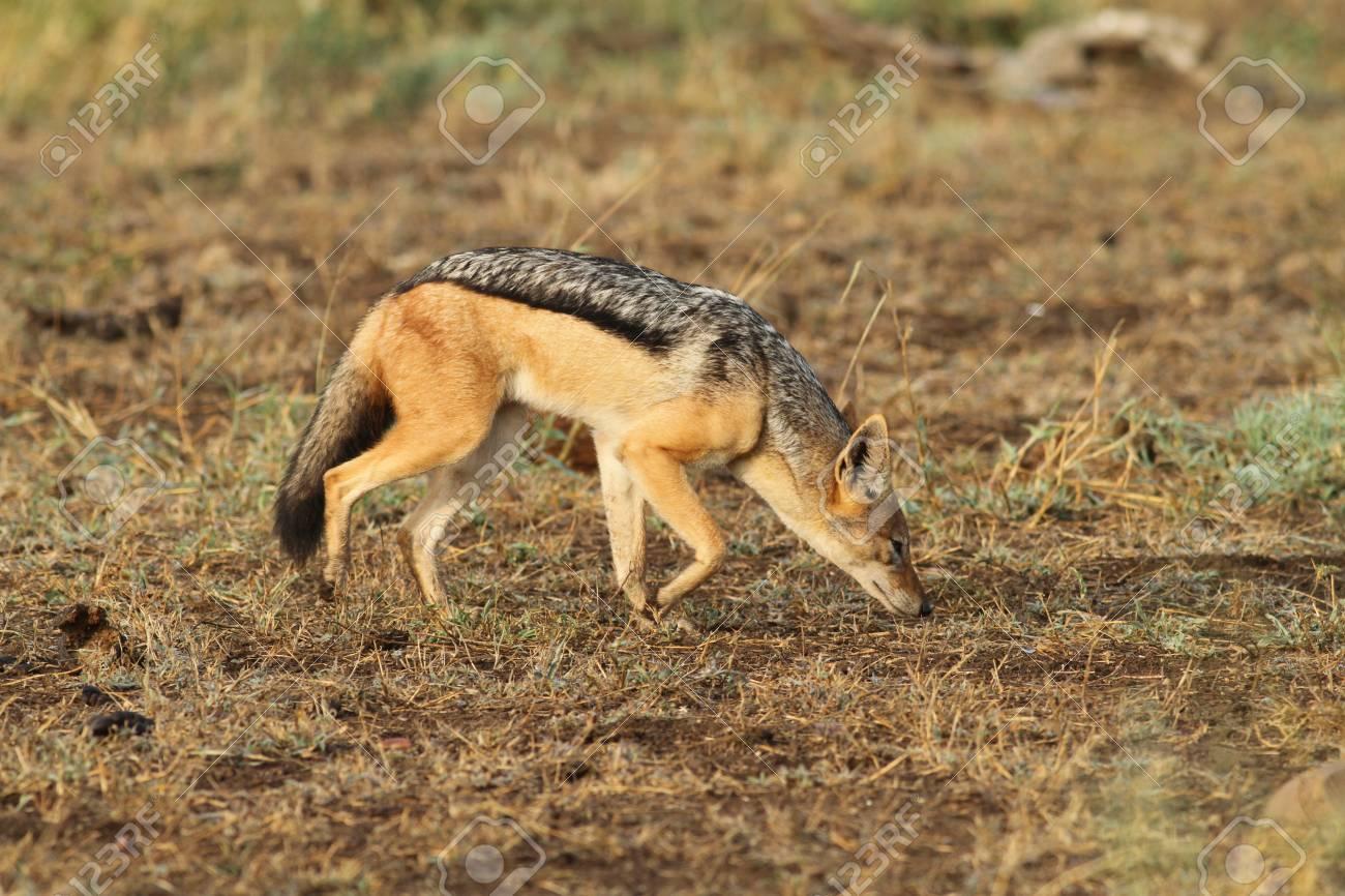 Black backed jackal Stock Photo - 14344438