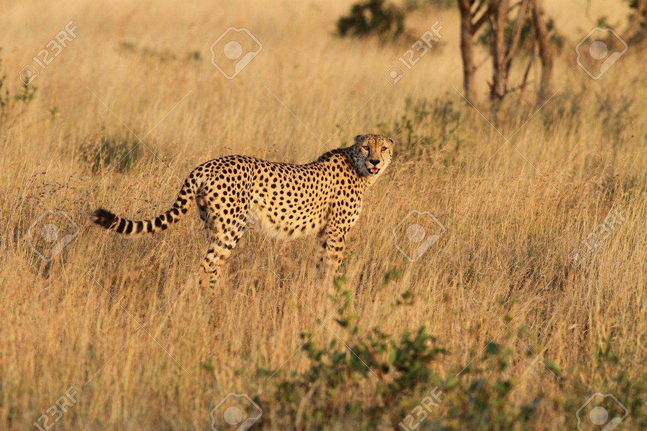 Cheetah Kruger National Park South Africa Stock Photo Picture And Royalty Free Image Image 14344466