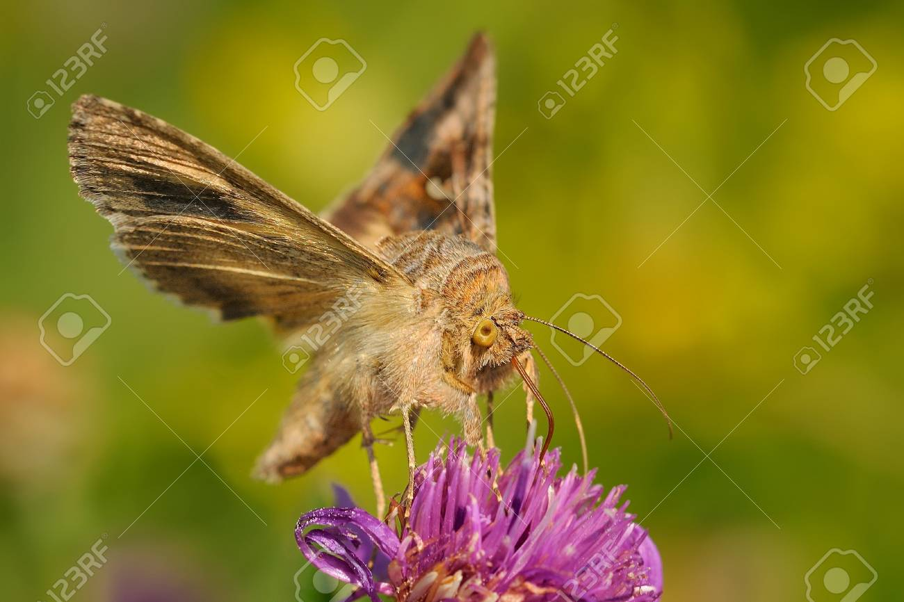 The Silver Y (Autographa gamma) sitting on the purple blossom
