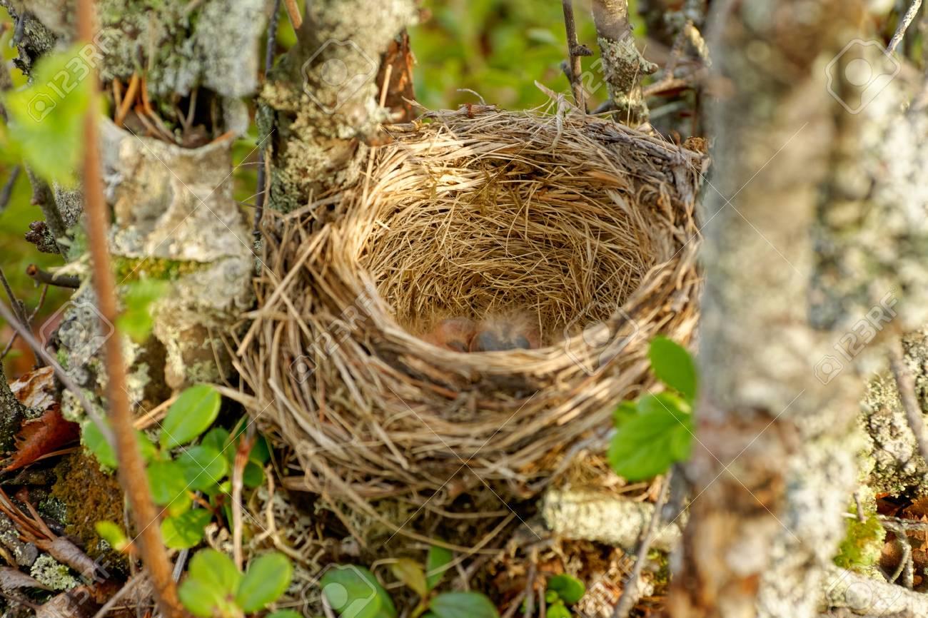 Nest of the Redwing - Turdus iliacus, bird in the thrush family,