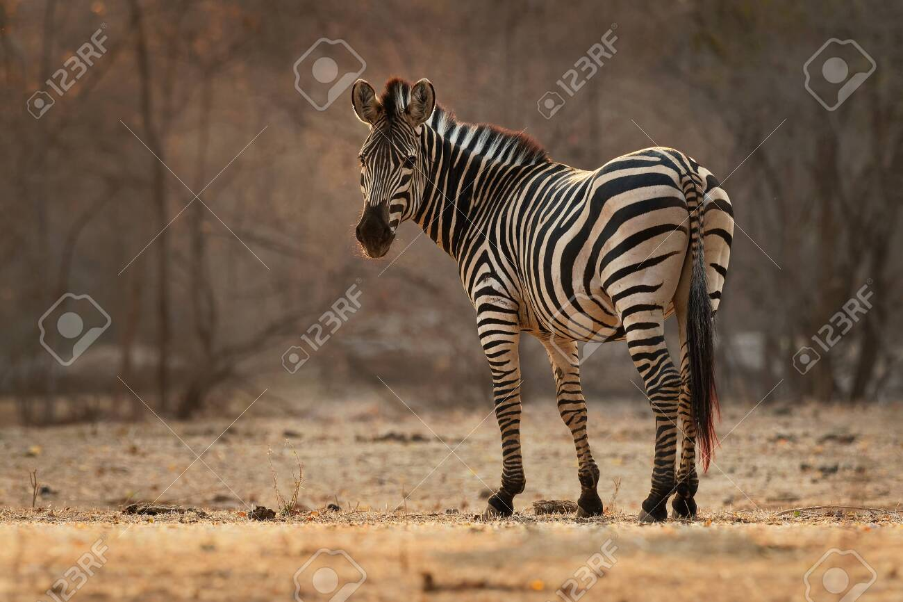 Plains Zebra - Equus quagga formerly Equus burchellii, also common zebra, the most common and geographically widespread species of zebra, black and white stripes. - 134384380