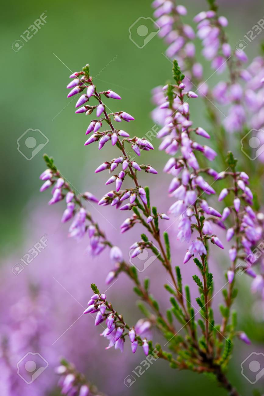 Forest heather flowers and blossoms in spring blooming in natural forest heather flowers and blossoms in spring blooming in natural environment stock photo 68006960 mightylinksfo