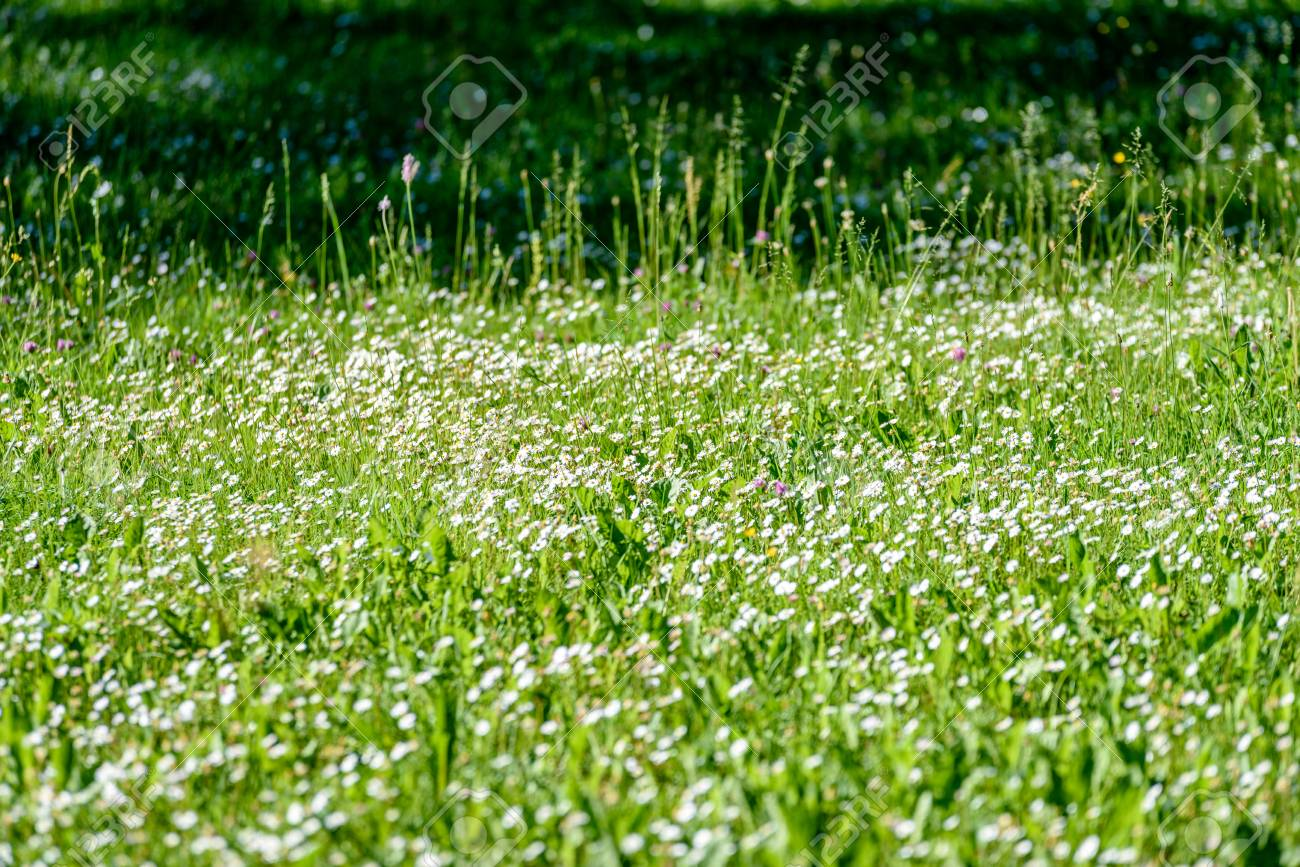 Small White Flowers In Meadow In Sunny Morning Stock Photo Picture