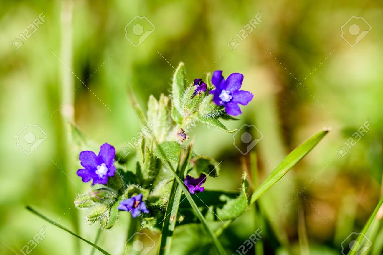 Immagini Stock Fiori Di Primavera Viola Su Sfondo Verde Con