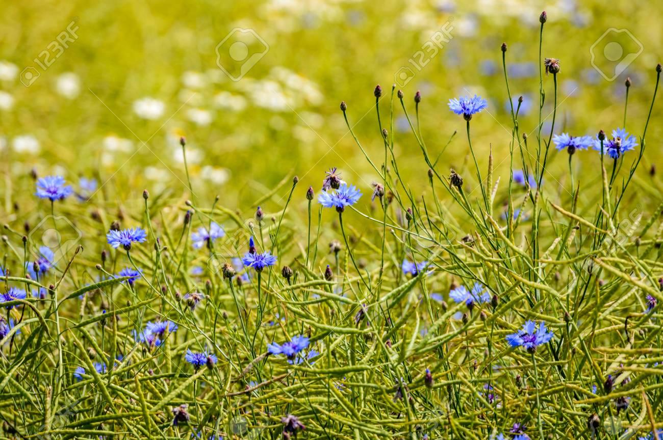 Archivio Fotografico , Fiori di primavera blu su sfondo verde con  profondità di campo poco profondo