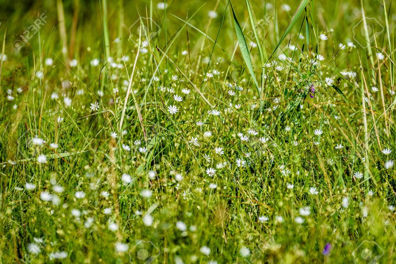 Immagini Stock Fiori Di Primavera Bianca Su Sfondo Verde Con