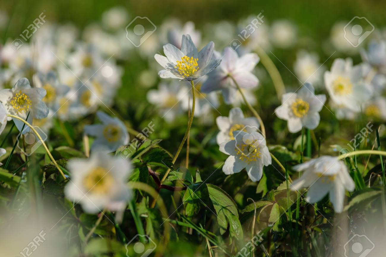 Large Field Of White Anemone Flowers In Spring A Plant Of The