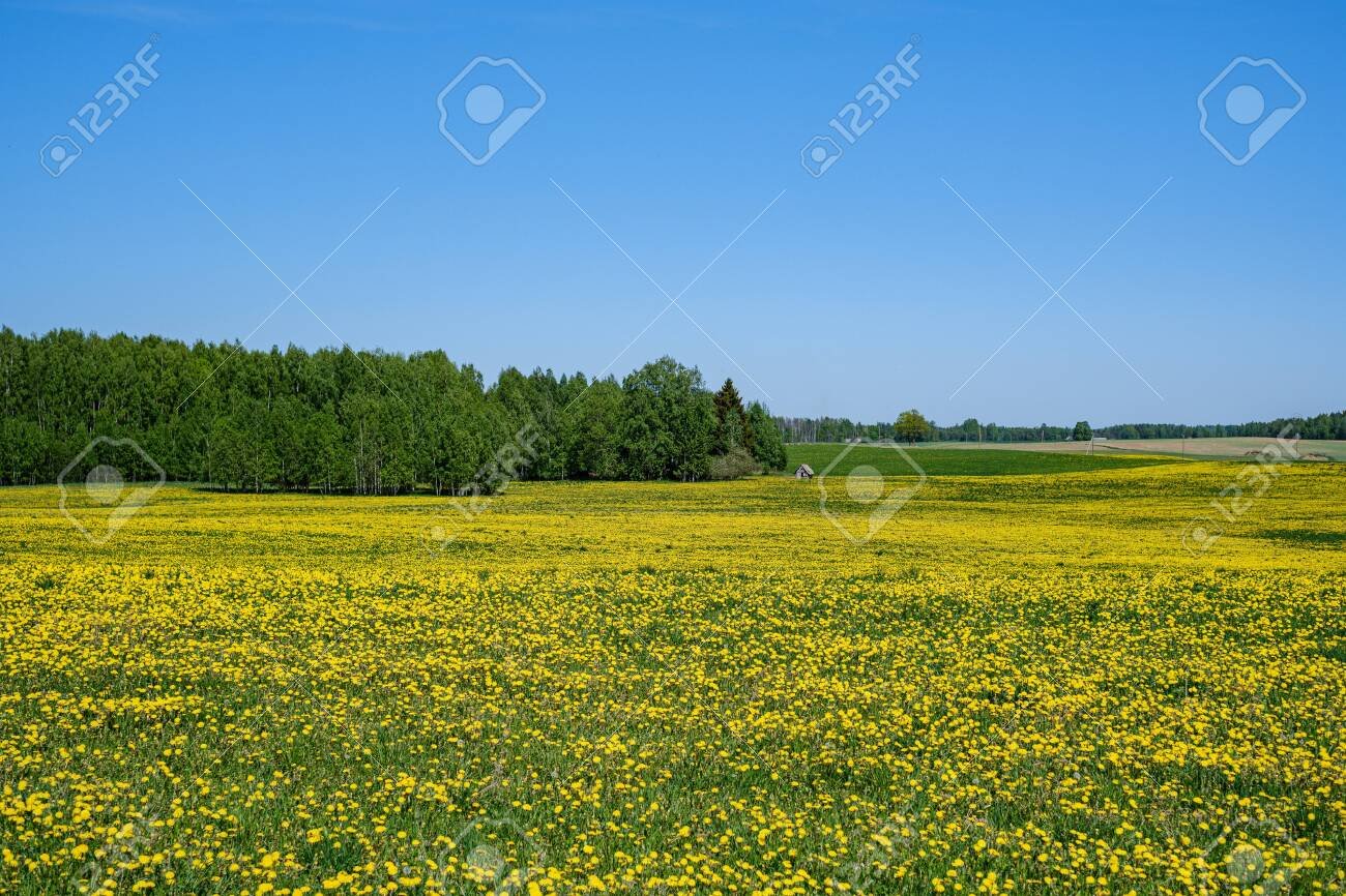yellow dandelion flowers in green meadow in summer. sunny day at countryside, shallow depth of field, blur background - 123143637