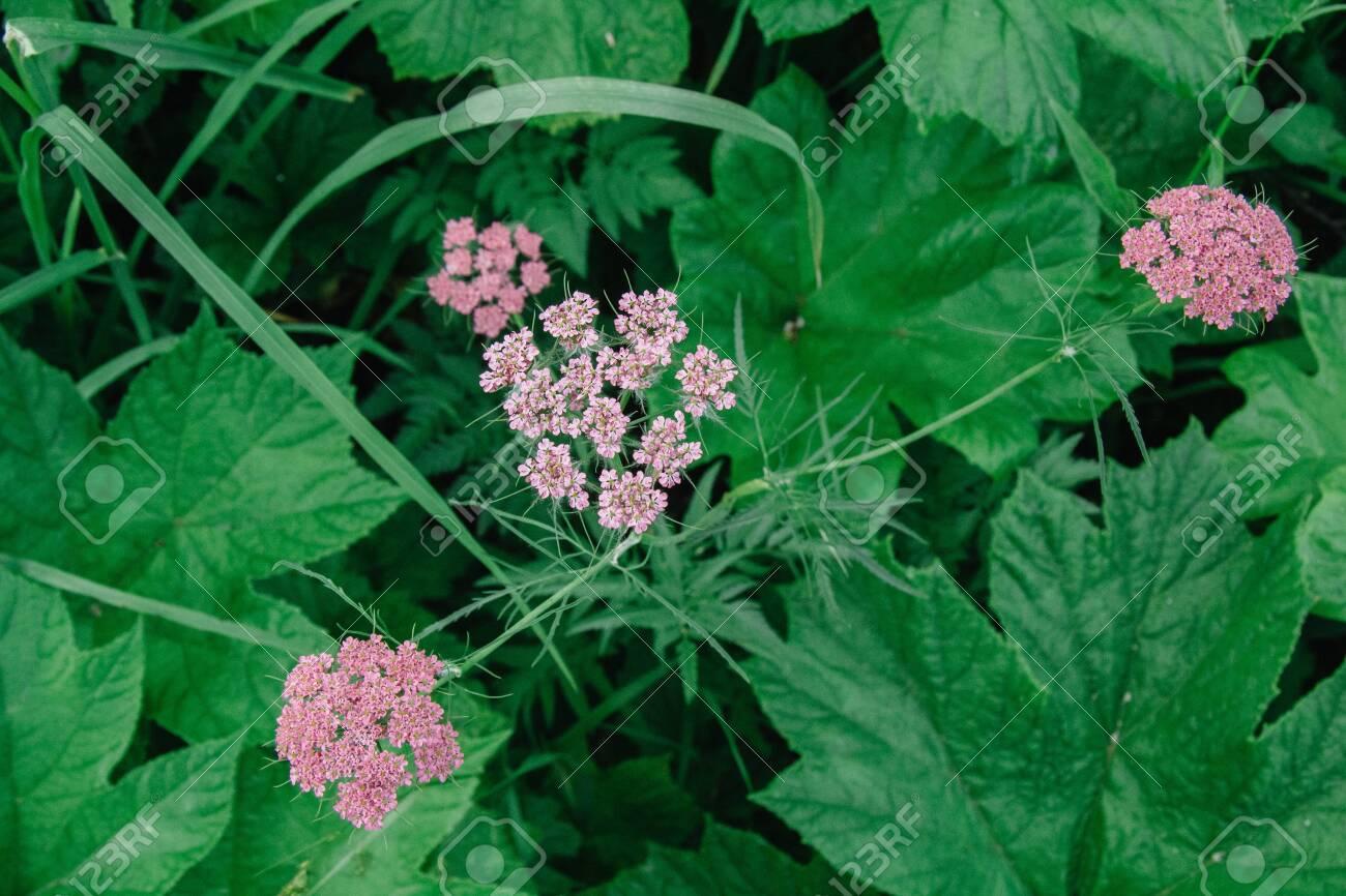 Valerian root plant Garden Heliotrope
