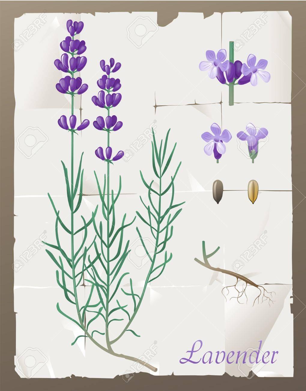 Lavender Plant Drawing Retro-styled lavender
