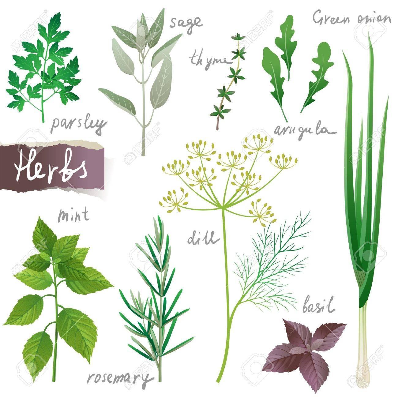 hierbas arom ticas establecer ilustraciones vectoriales clip art rh es 123rf com hierbas aromaticas fotos hierbas aromaticas del peru