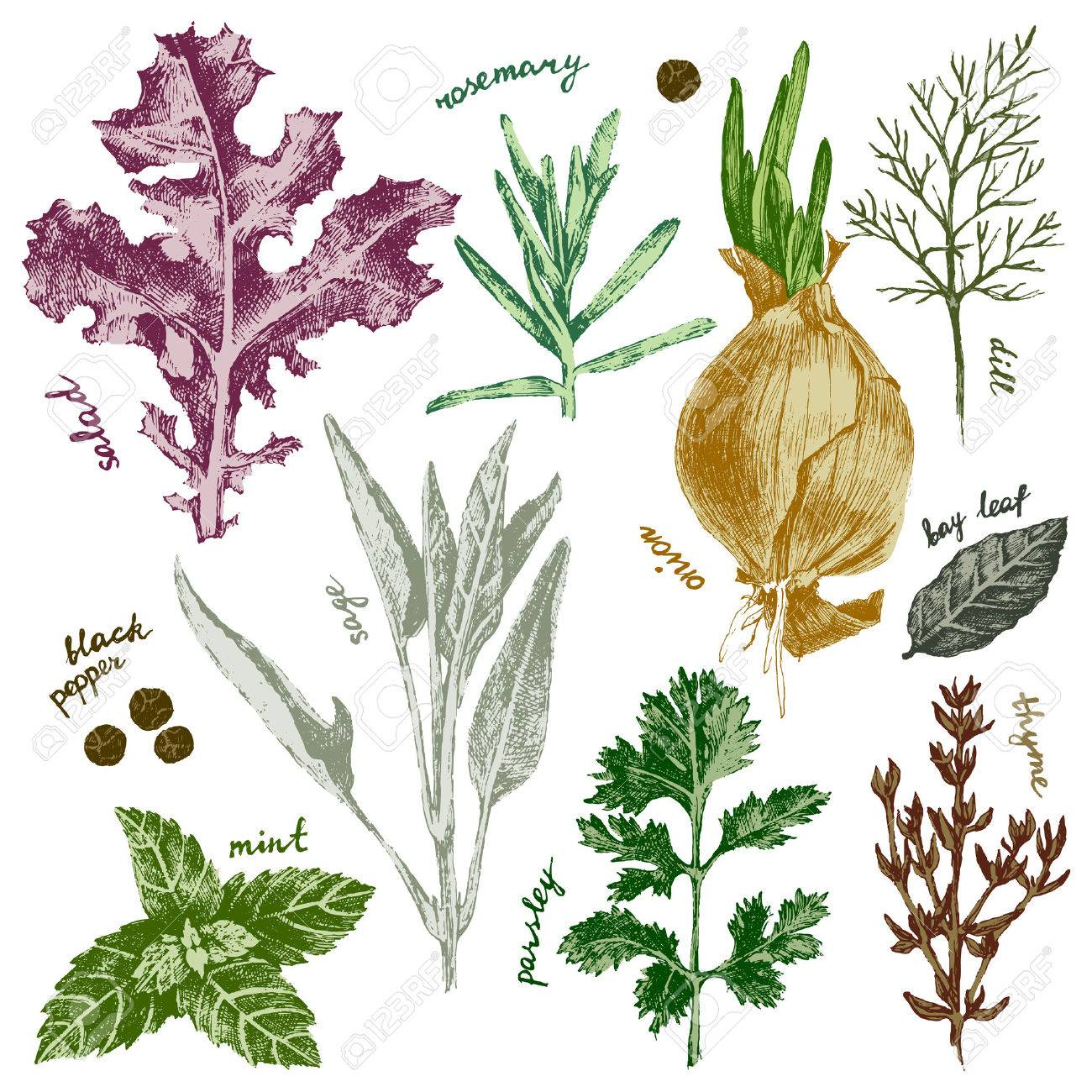 hand drawn highly detailed herbs and spices set in color - 43870908