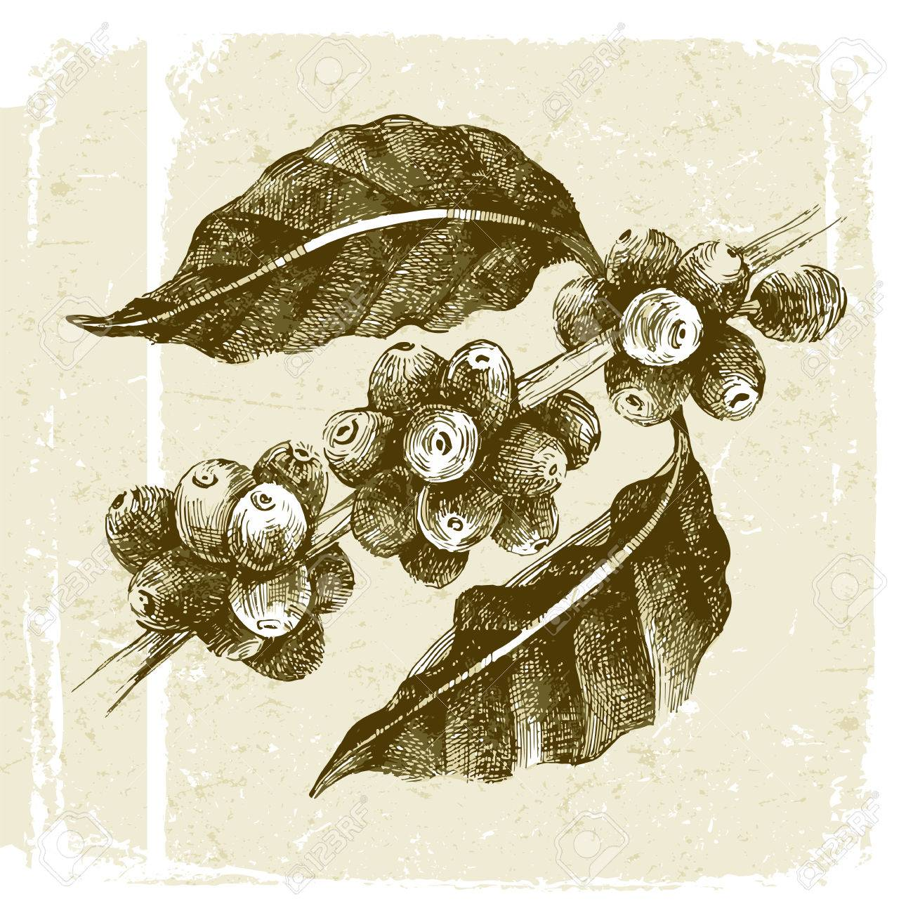 hand drawn coffee tree branch in vintage style - 48490973