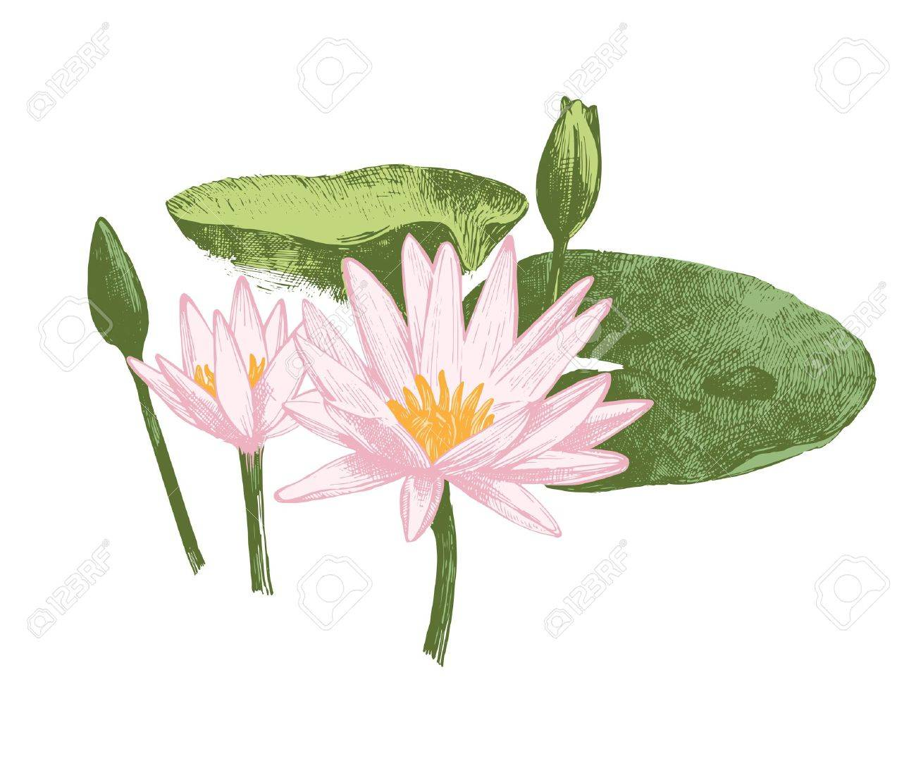 Hand drawn water lily flowers - 74748984