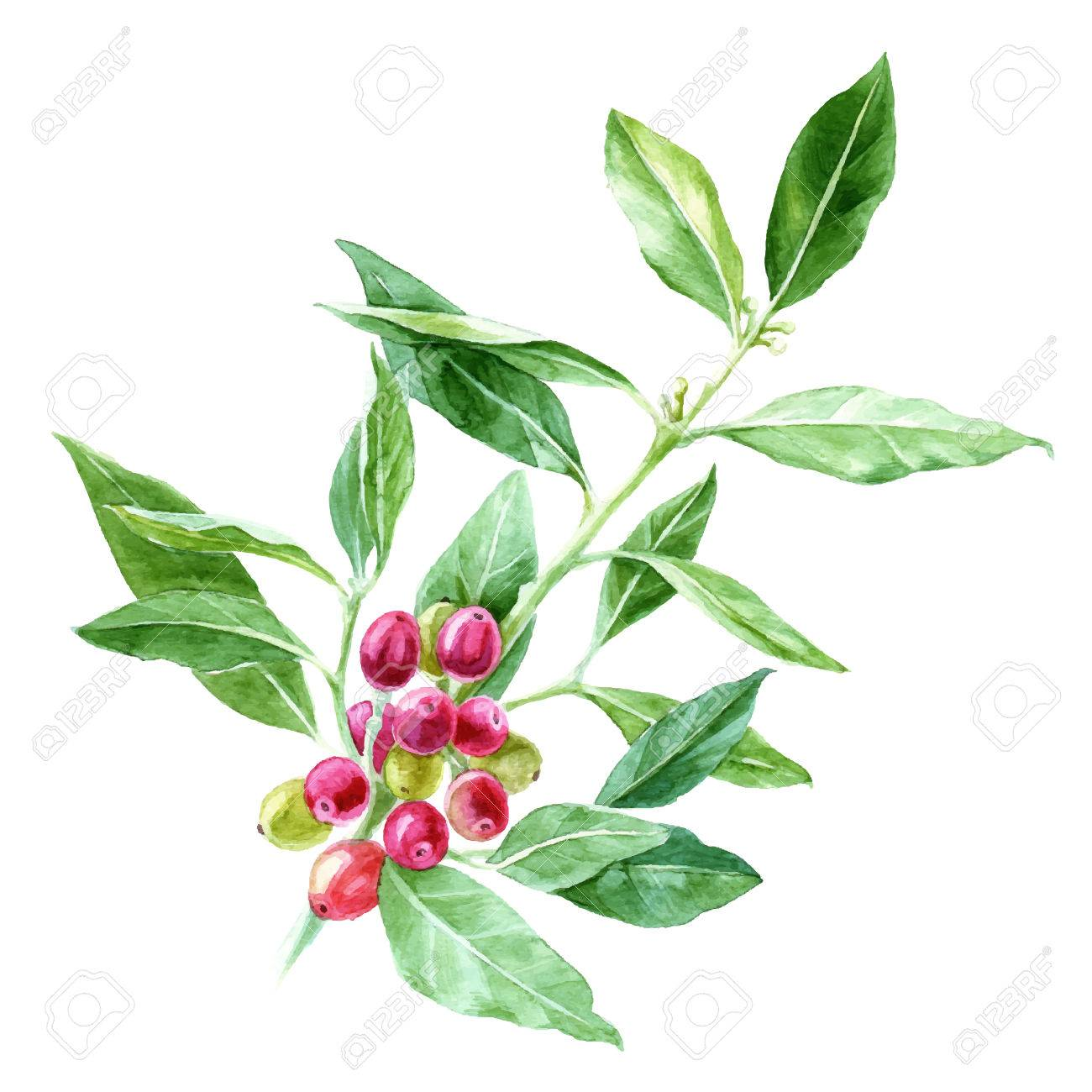 Hand drawn watercolor coffee plant - 79751042