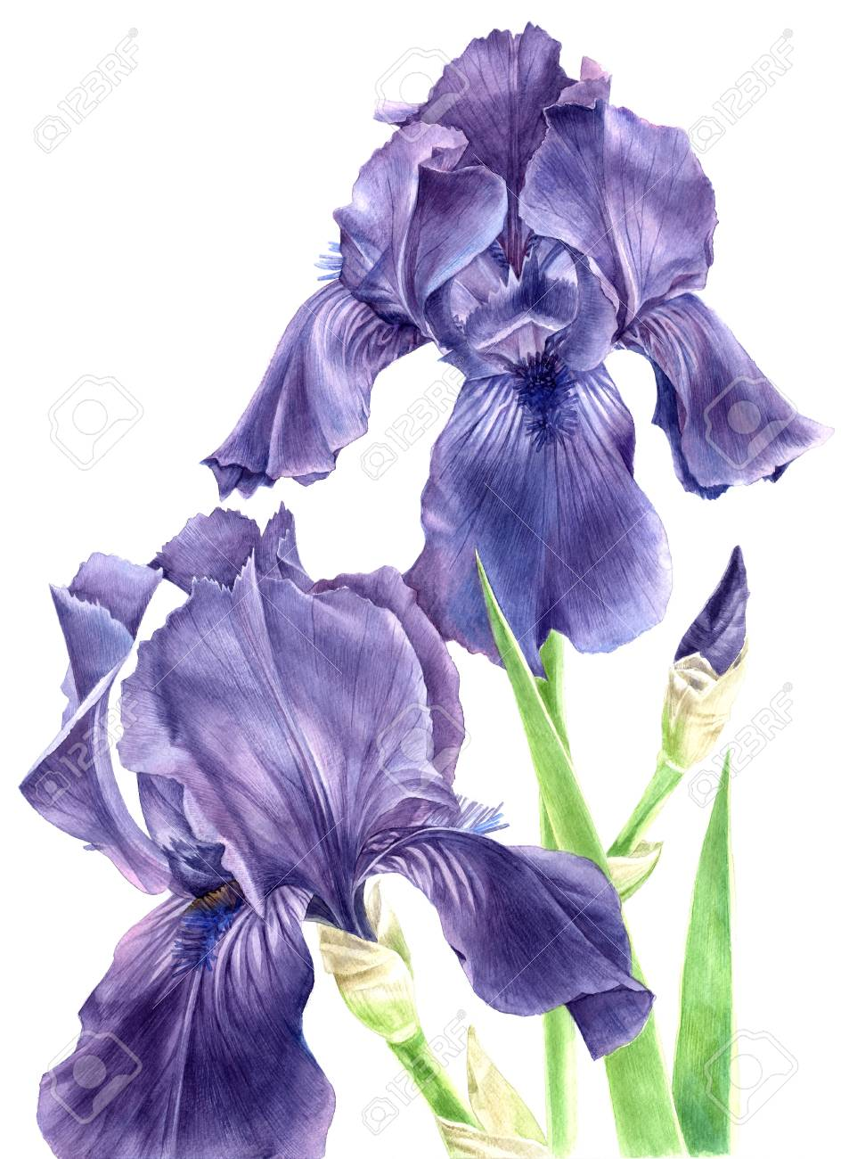 Hand Drawn Watercolor Iris Flowers Stock Photo Picture And
