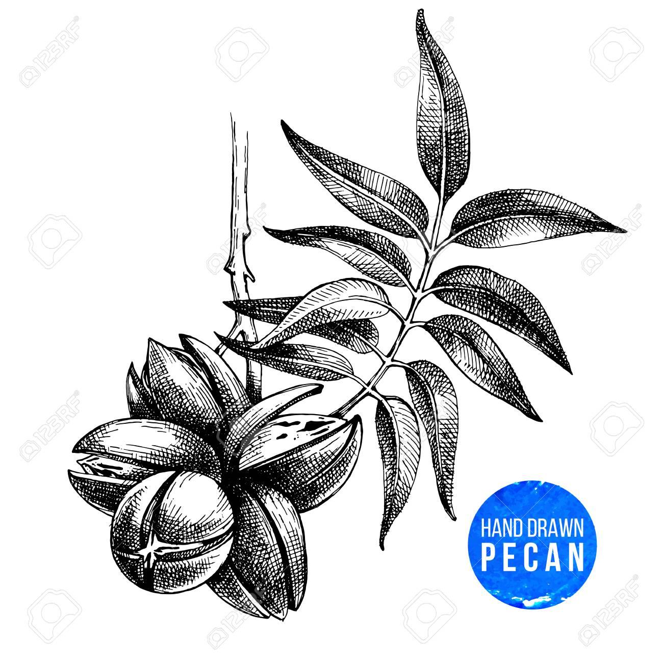 Hand drawn pecan nuts - 86999587