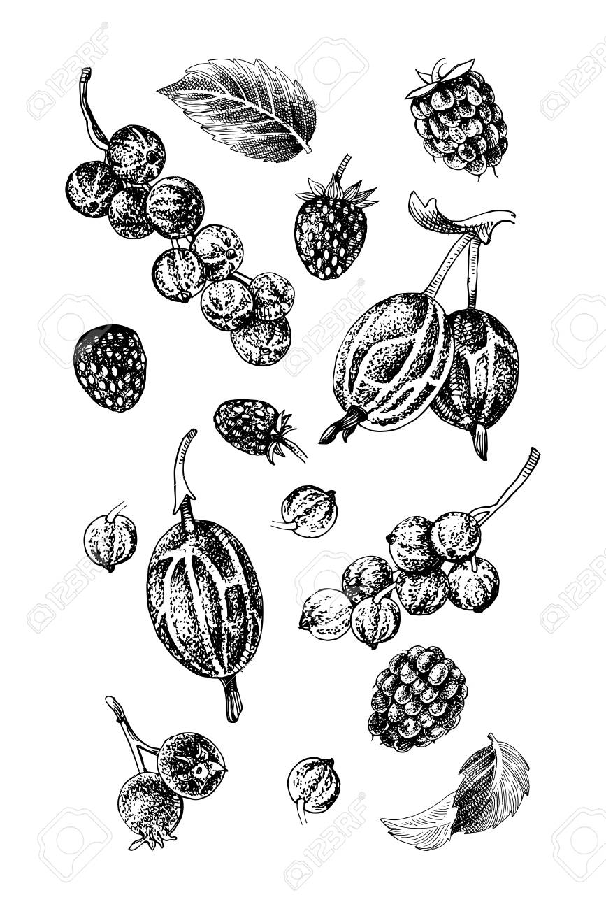 Background with black and white hand drawn berries - raspberry, red currant, gooseberry, wild strawberry, shadberry and mint leaves. Vector illustration - 125140505