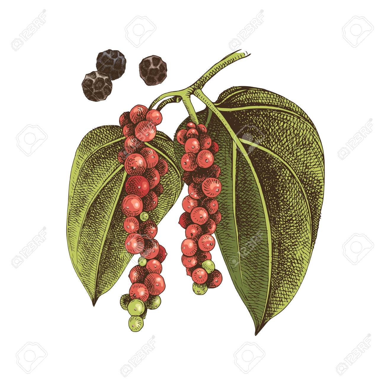 Hand drawn black pepper plant. Colorful vector illustration in retro style - 128182561