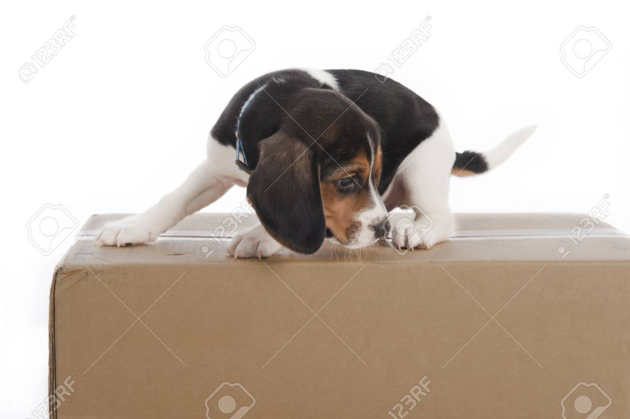 beagle puppy stuck on a box isolated on white stock photo picture