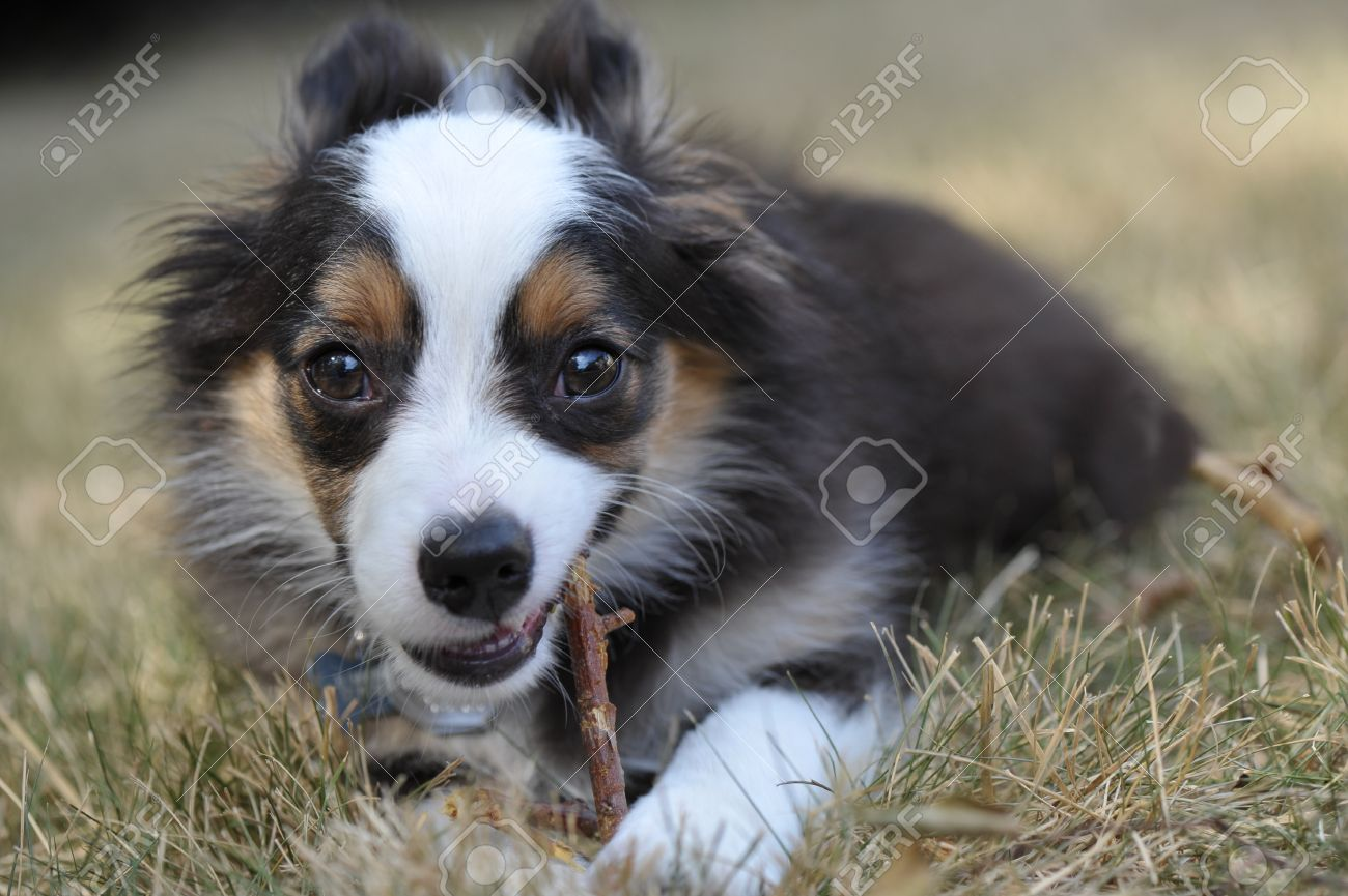 Miniature Australian Shepherd puppy dog chews on a stick in the grass of a suburban yard, with his ears pulled back Stock Photo - 14563394