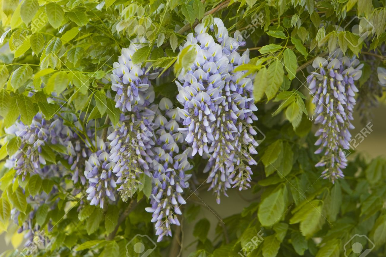 Purple Wisteria Sinensis Flowers Hanging From A Vine Surrounded