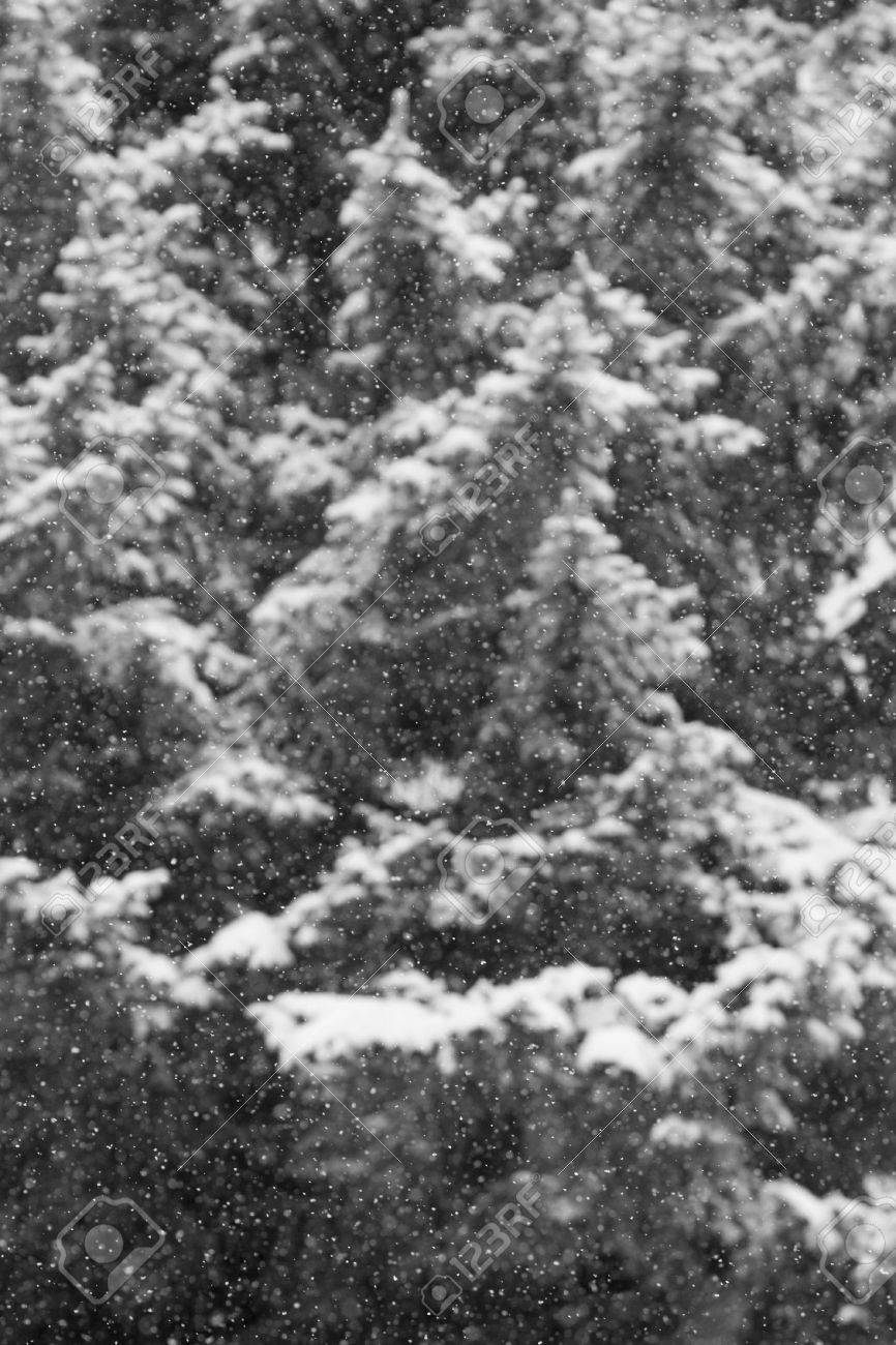 Black and white snow laden pine trees out of focus with snow fall in foreground stock