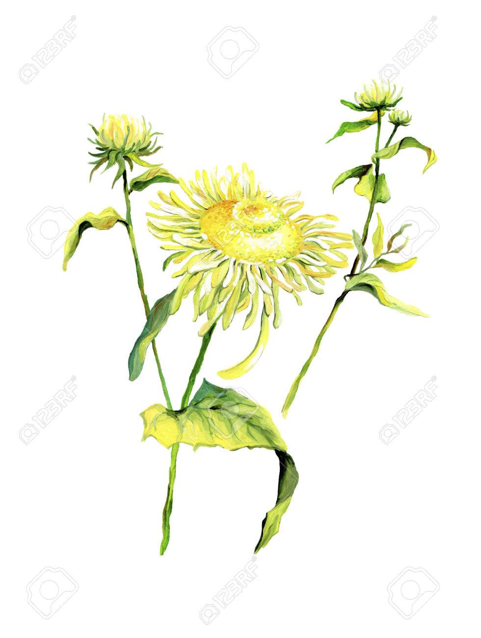 Forest flower chamomile isolated on white background.Color drawing of daisies with leaves - 60105301