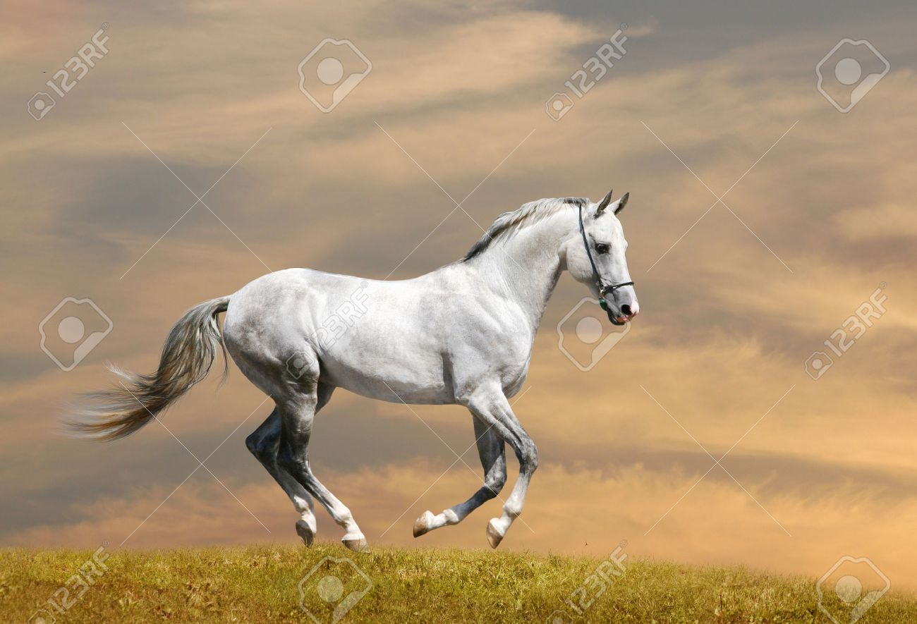 White Horse Running Stock Photo Picture And Royalty Free Image