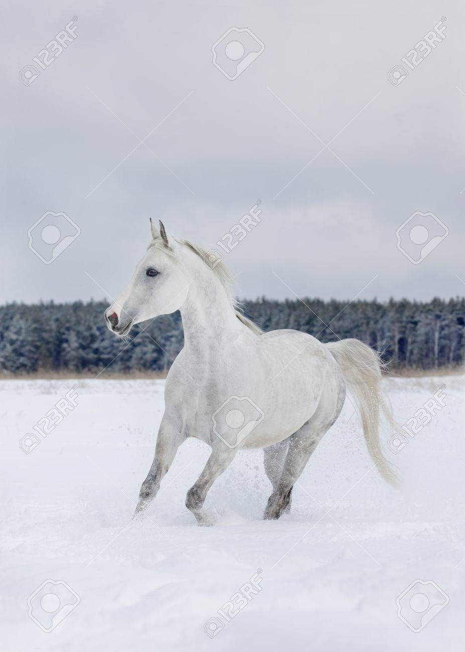 arab horse in winter Stock Photo - 8770711