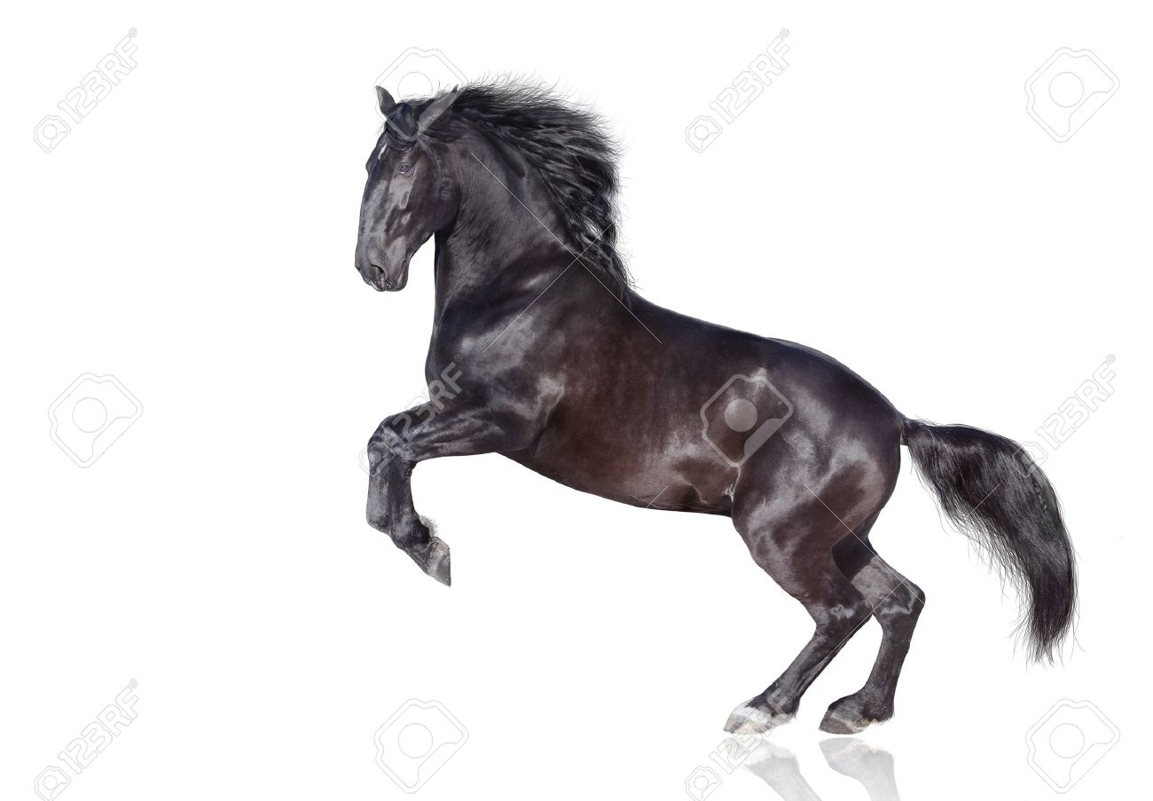 black stallion isolated on white Stock Photo - 9032644