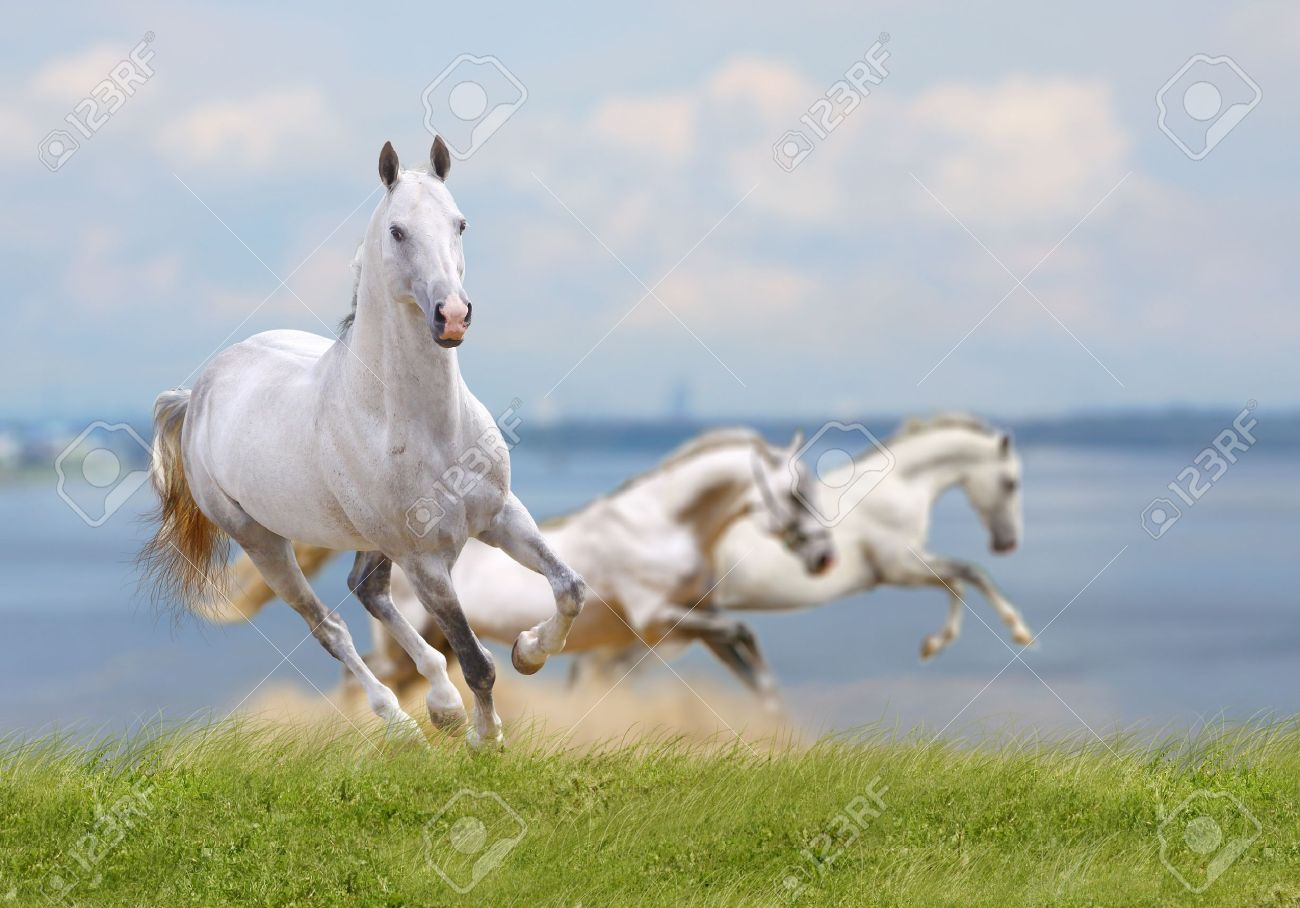 White Horses Running Near Water Stock Photo Picture And Royalty