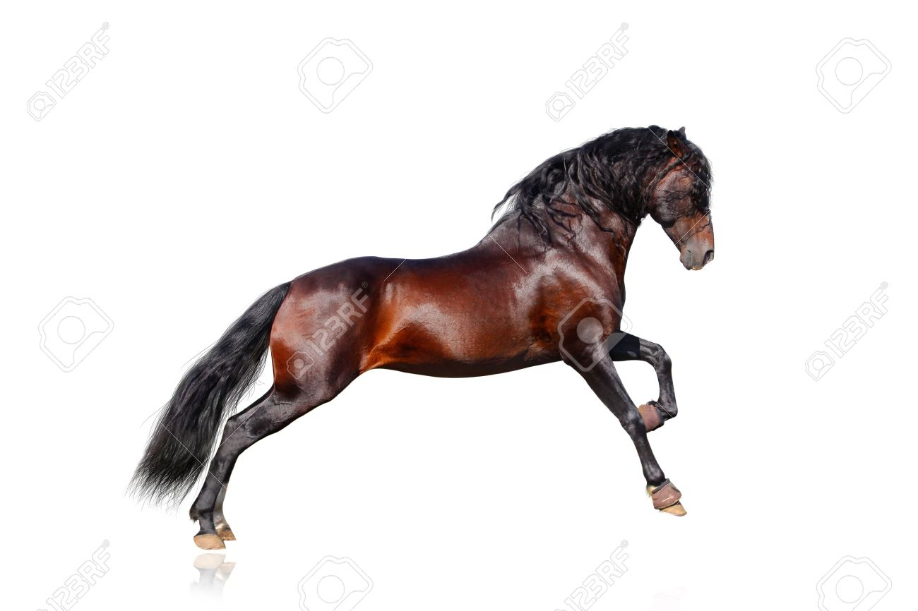 andalusian horse isolated Stock Photo - 10842196