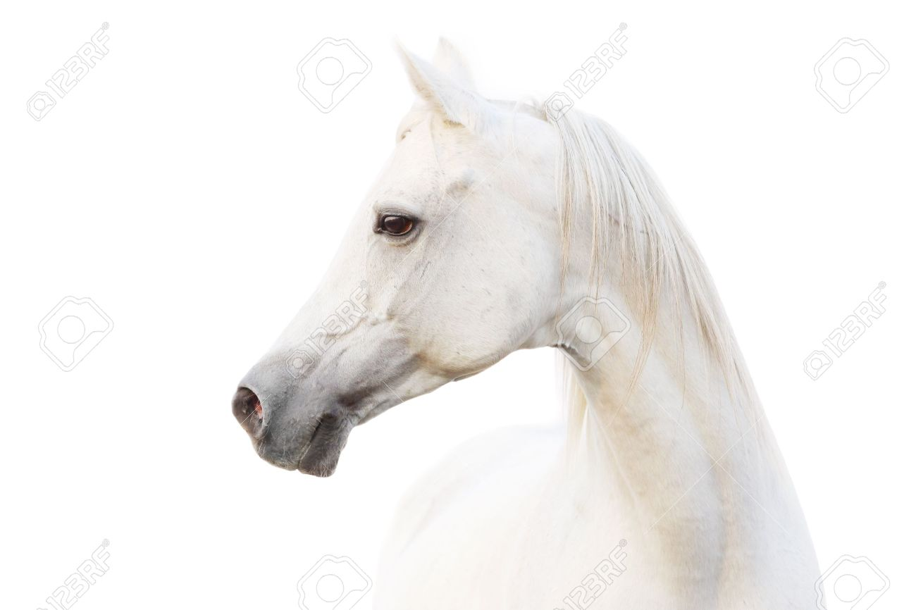 Arabian White Horse Stock Photo Picture And Royalty Free Image Image 10842188