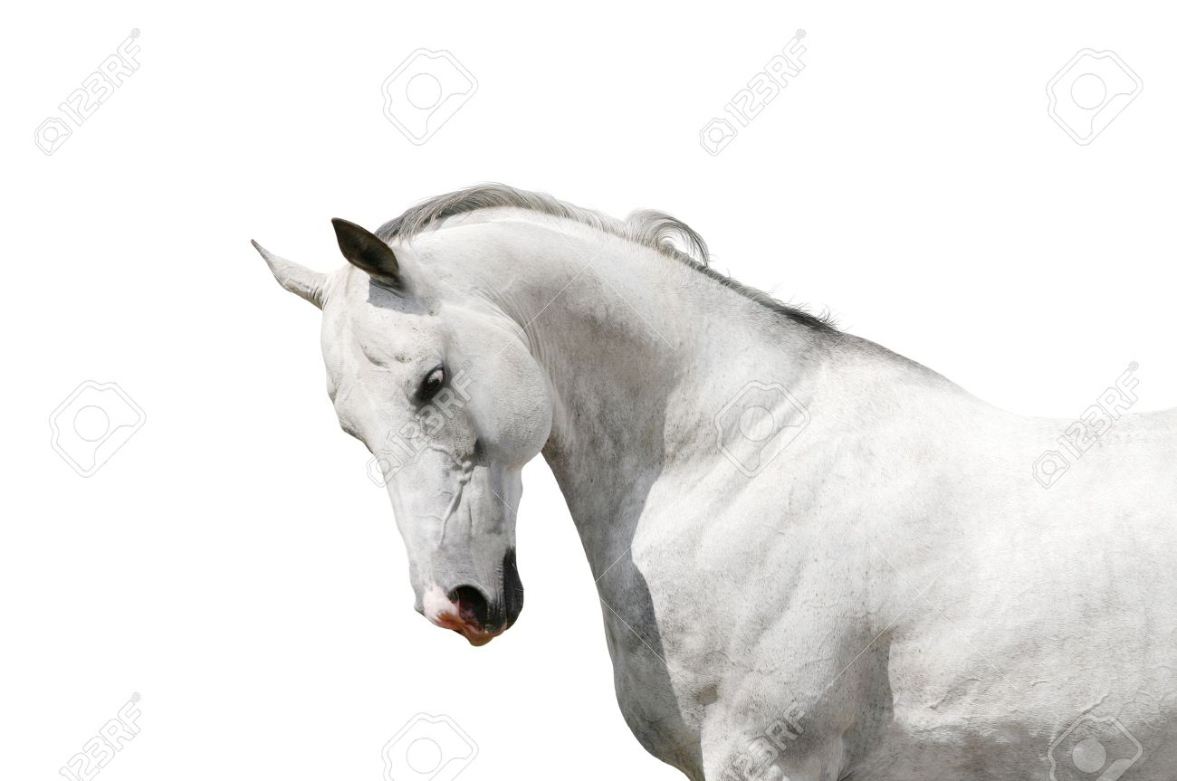 White Horse Stock Photo Picture And Royalty Free Image Image 13554736