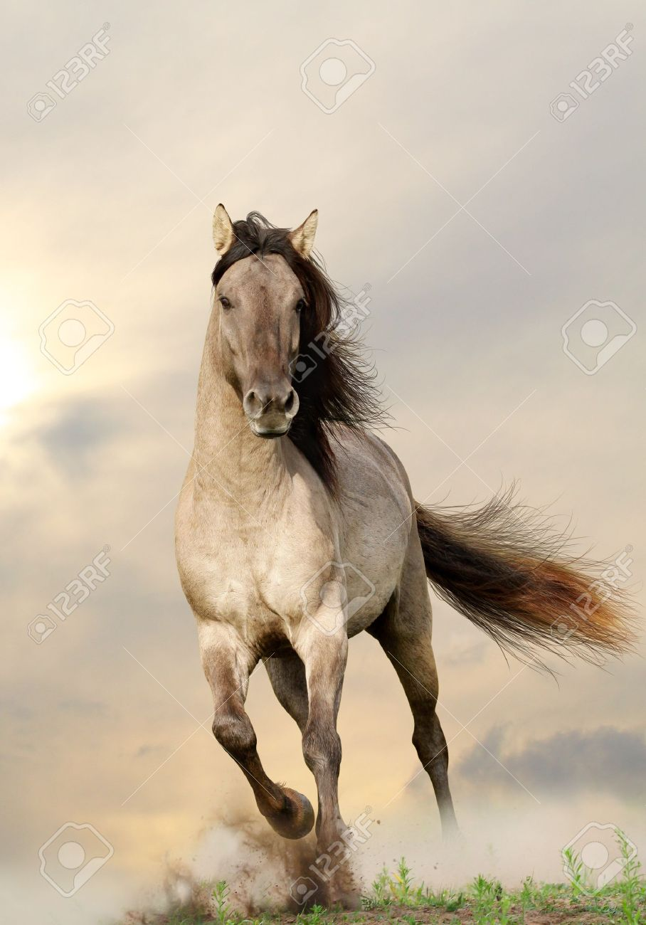 Wild Stallion Running In Sunset Stock Photo Picture And Royalty Free Image Image 14039274