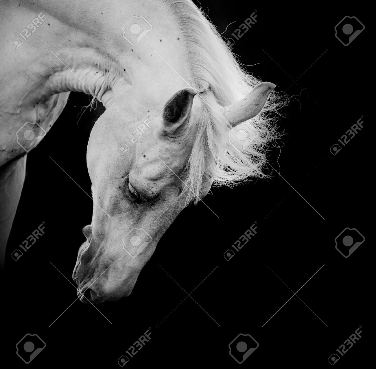 White Horse On A Black Stock Photo Picture And Royalty Free Image Image 22881928